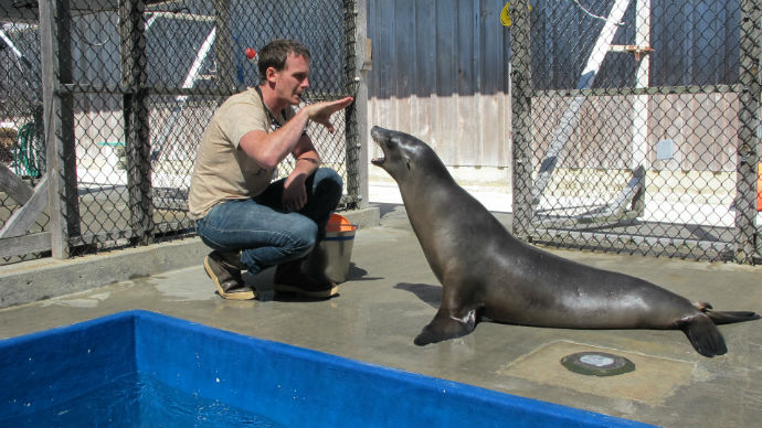 Peter Cook works with Ronan the sea lion on some basic husbandry behaviors that are used in daily health examinations and in training experimental research behaviors. Photo courtesy of brendan wakefield, Pinnipedlab.ucsc.edu NMFS Permit 14535