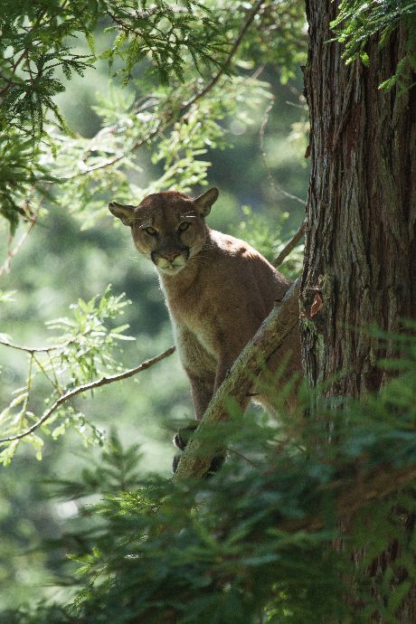 This male puma narrowly avoided being collared by a researcher with the Santa Cruz Puma Project (SCPP). The SCPP captures and collars mountain lions to collect data for better understanding puma behavior. Courtesy of Paul Houghtaling.