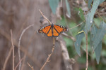 Over the WEEKEND, monarch butterflies flocked in the hundreds to Natural Bridges State Park. Photo by Matthew Tsuda