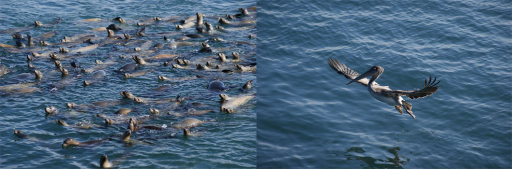 HUNDREDS OF SEA LIONS and over 50 pelicans gathered in the surrounding waters of the wharf while feeding on a school of sardines on Nov. 9. Photo by Daniela Ruiz.