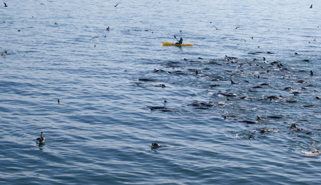 A GROUP OF SEA LIONS fed on sardines while following a kayaker. Photo by Daniela Ruiz.
