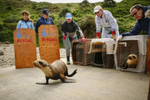 Members of the Marine Mammal Center release California sea lions back into the ocean after rehabilitation. Due to a number of changing environmental conditions, some marine mammals are forced to venture farther from their normal foraging grounds for food. Sea lion pups are prone to becoming stranded. Photo Courtesy of Marine Mammal Society