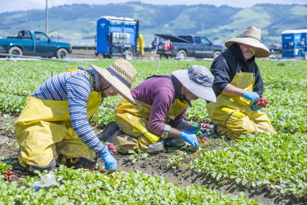 Workers at Lakeside Organic Farm harvest radishes and bundle them together so they can be cleaned and later shipped locally and nationally. Once a portion of the field is cleared, the soil is watered and then new crops are planted in place of the recently harvested ones. The cycle repeats so there is a constant flow of both newly planted produce and produce that is ready to be picked. Photo by Casey Amaral.