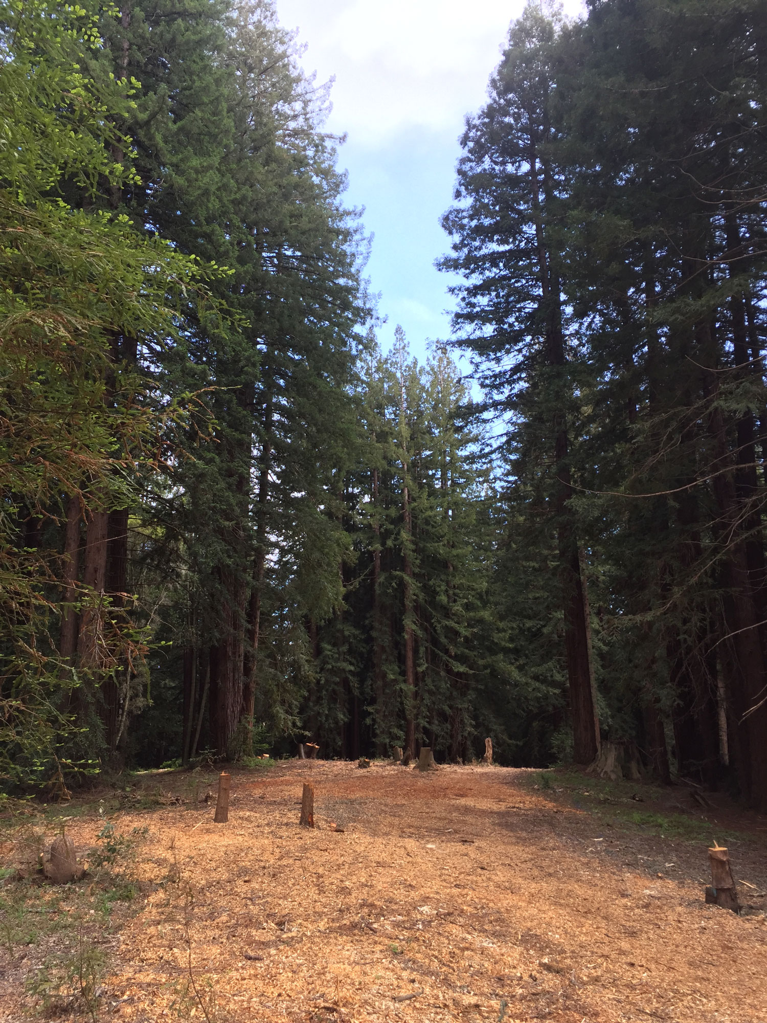 Redwoods Cleared for Development
