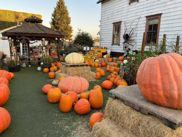 Pumpkins set up for visitors at the Post Street Farm.