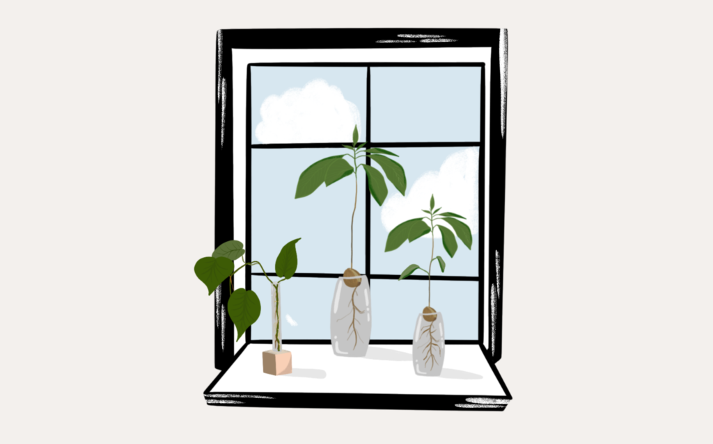 An illustration of avocado and mango seeds sprouting at the window.